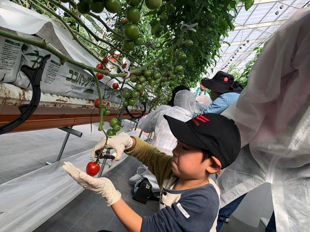 トマトの収穫の様子
