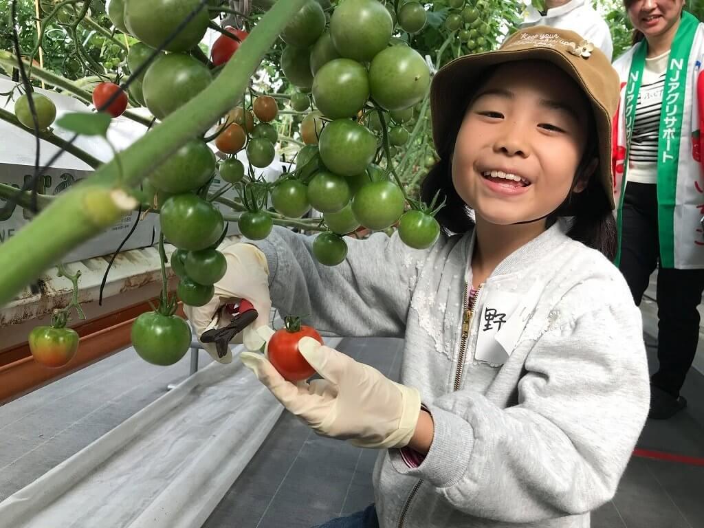 ハサミを使って上手にトマトを収穫する参加者